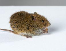Szkodniki - Gryzonie - Myszy