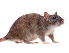 Szkodniki - Gryzonie - Szczury