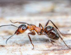 Szkodniki - Biegające - Mrówki